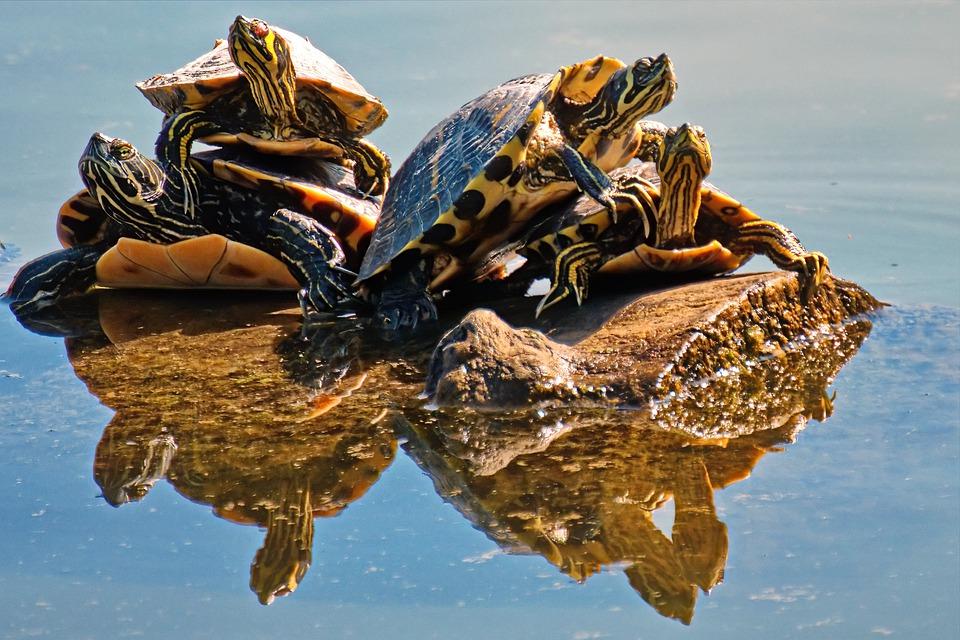 Beaucoup de place pour les tortues dans votre terrarium
